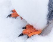 Antarctic-Penguins-©Lauri-Novak-2