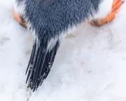 Antarctic-Penguins-©Lauri-Novak-3