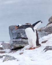 Antarctic-Penguins-©Lauri-Novak-5