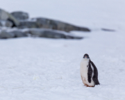 Antarctic-Penguins-©Lauri-Novak-6
