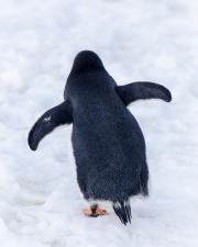 Antarctic-Penguins-©Lauri-Novak-7