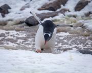 Antarctic-Penguins-©Lauri-Novak-8
