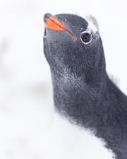 Antarctic-Penguins-©Lauri-Novak