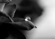 BW-Rose-with-Drop-©Lauri-Novak