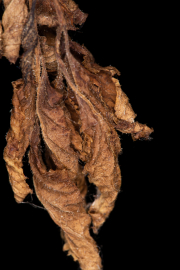 Curled-brown-leaf-©Lauri-Novak