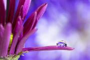 Purple-flower-in-drop-on-petal-©Lauri-Novak